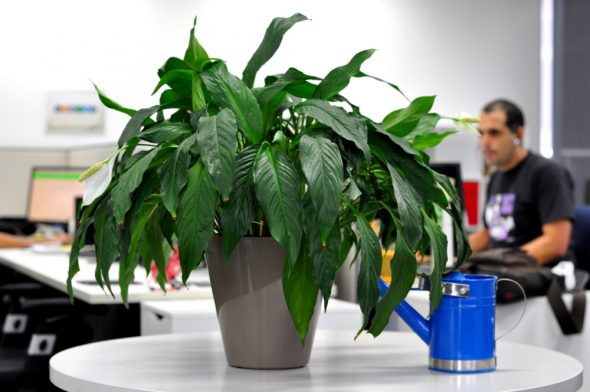 Is it worth having plants in the office? Here, a medium sized potted plant sits on a table next to a blue watering can. An out of focus office scene is in the background.