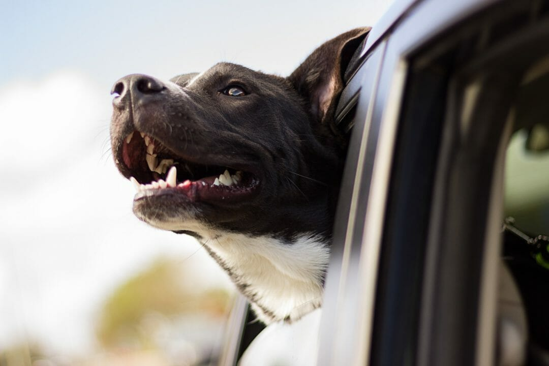 A dog poking his head out of the window of a car is bad for aerodynamics and fuel efficient driving