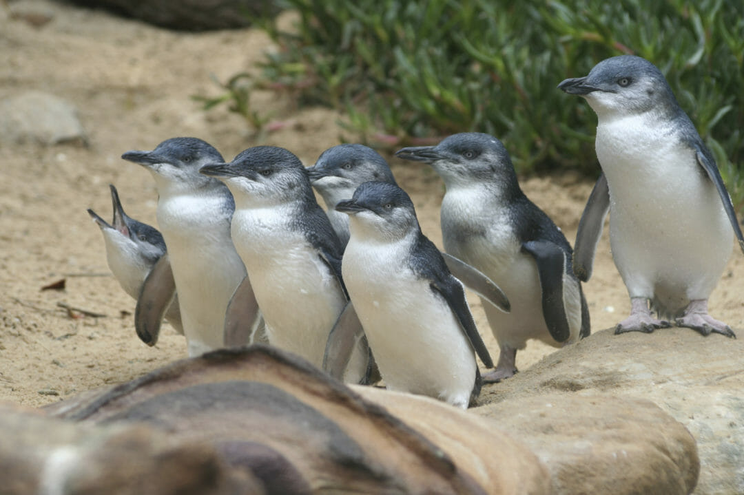 Little Penguins in the Port Phillip Penguin Parade, a destination for a great unusual road trip