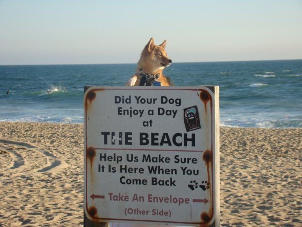 A cute Shiba Inu dog poking its head over a sign on the beach, which says the beach is dog friendly