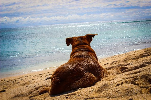 A brown dog lies on the sand of a dog friendly beach, looking out over the ocean