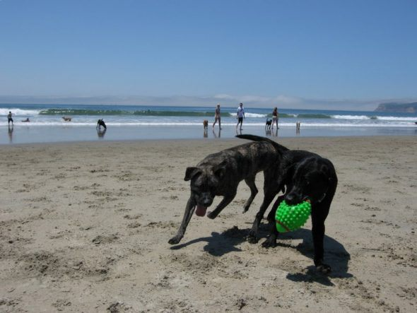 Two large dogs on a dog friendly beach playing with a ball